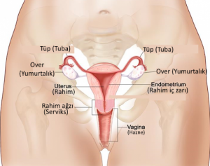 kadın anatomisi